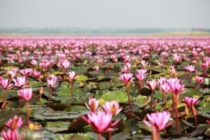 lotus-flower-blossom-swamp-udonthani
